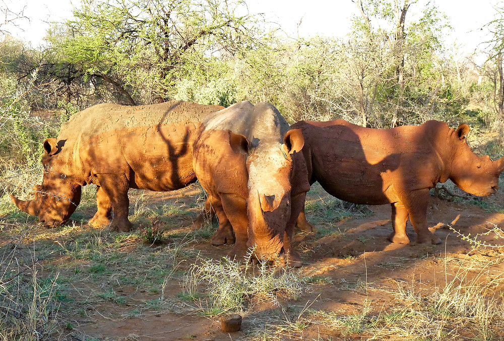 #Rhinos at #MadikweGameReserve