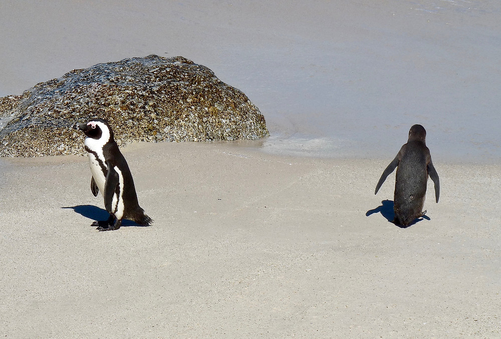 Two African penguins at Boulders Beach, South Africa