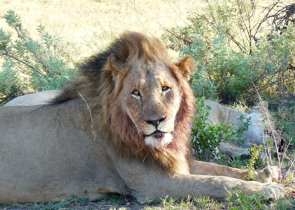 Cross-eyed #lion in #Madikwe Game Reserve