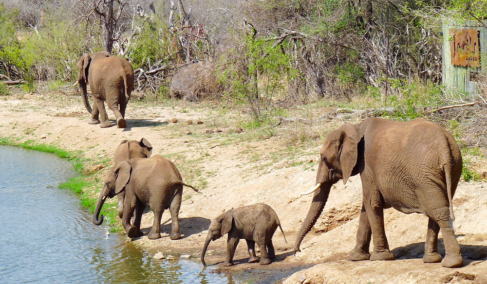 #Elephants in #Madikwe Game Reserve