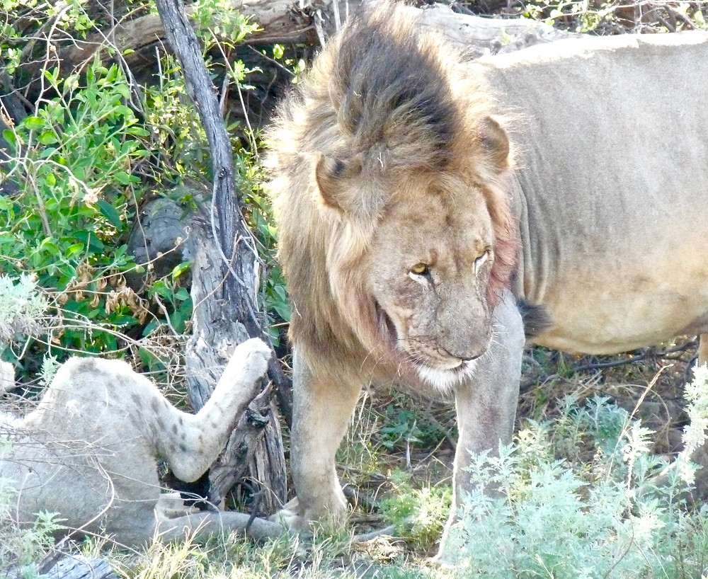 #Lion in #Madikwe Game Reserve