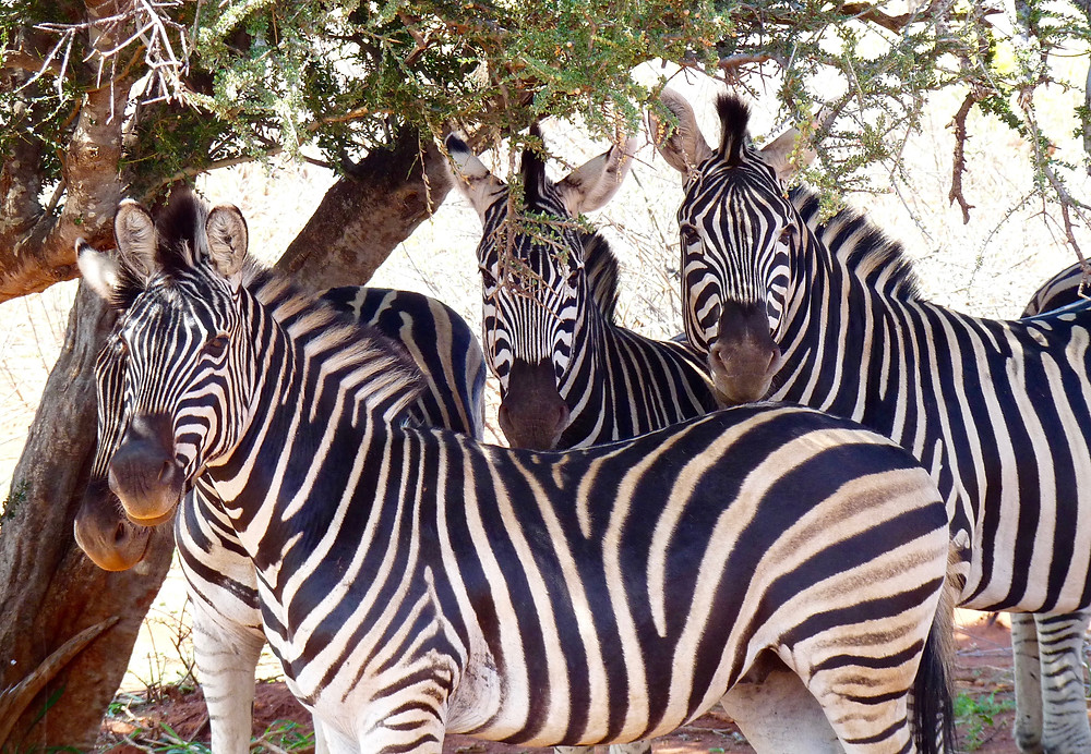 #Zebras in #Madikwe Game Reserve