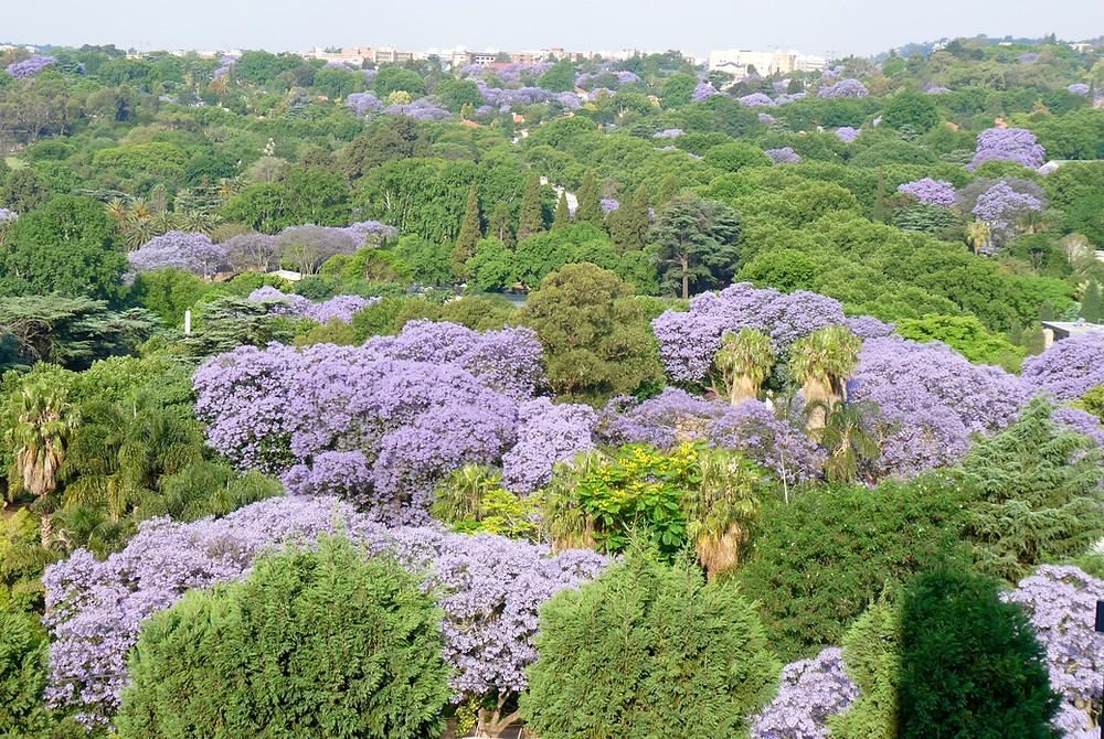 Jacaranda forest in Johannesburg