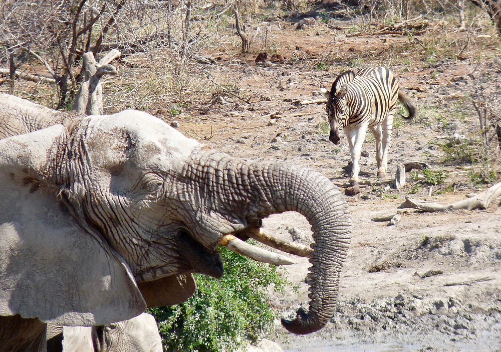 #Elephant and #zebra at #JamalaMadikwe