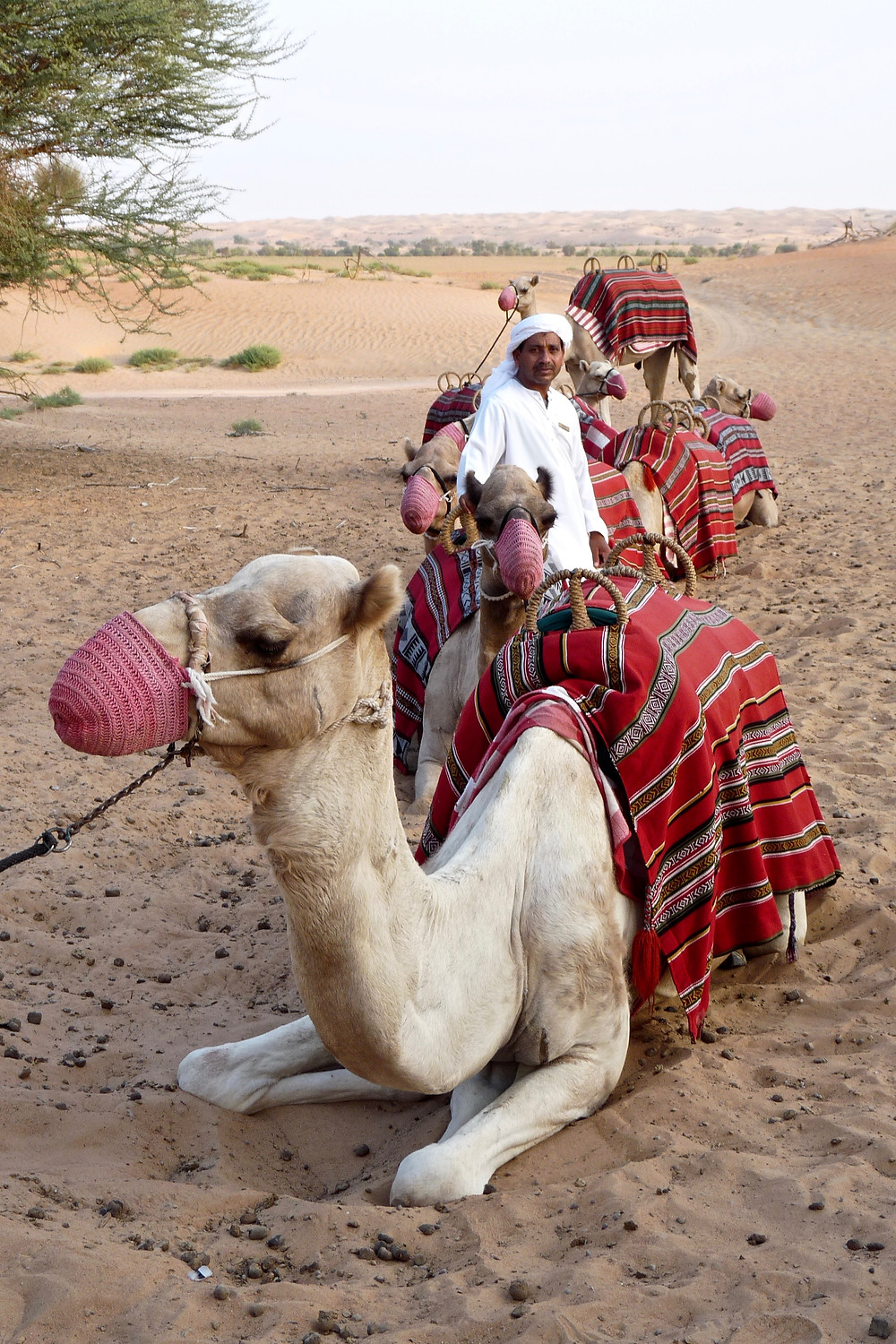 Caravan of camels with Arabian guide at Al Maha, Dubai