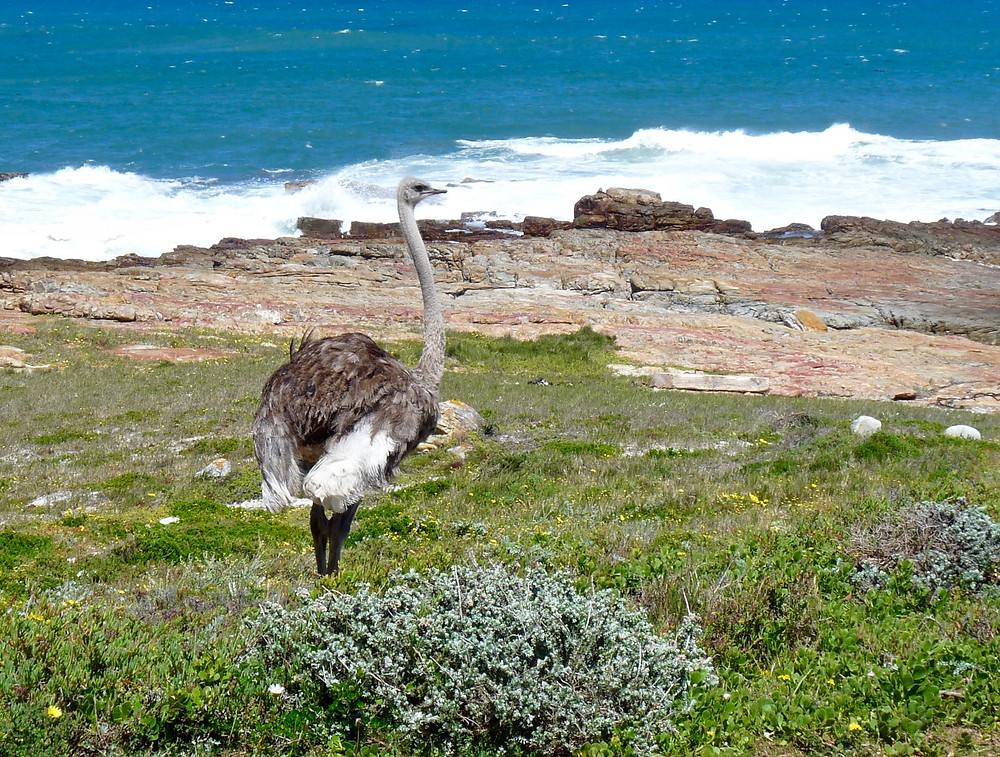 Ostrich near Cape of Good Hope, South Africa