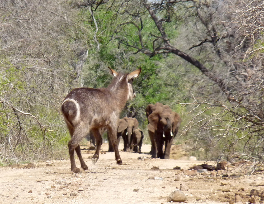 #Waterbok is alarmed by oncoming #elephants in #Madikwe Game Reserve
