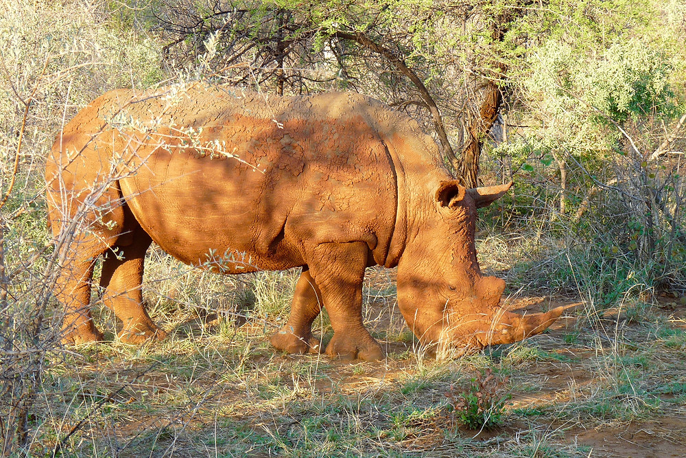 White #rhino at #MadikweGameReserve