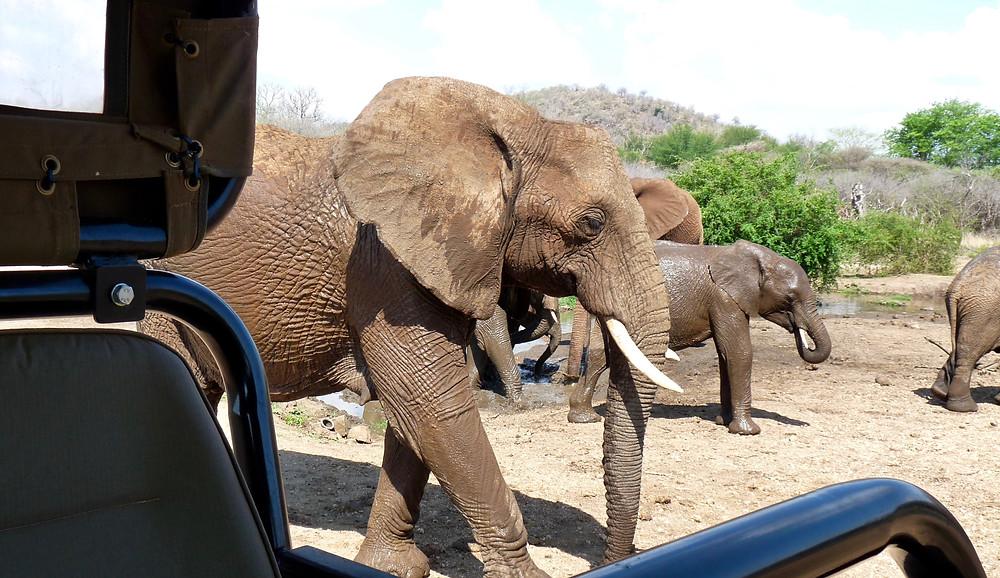 #Elephants in #Madikwe Game Reserve