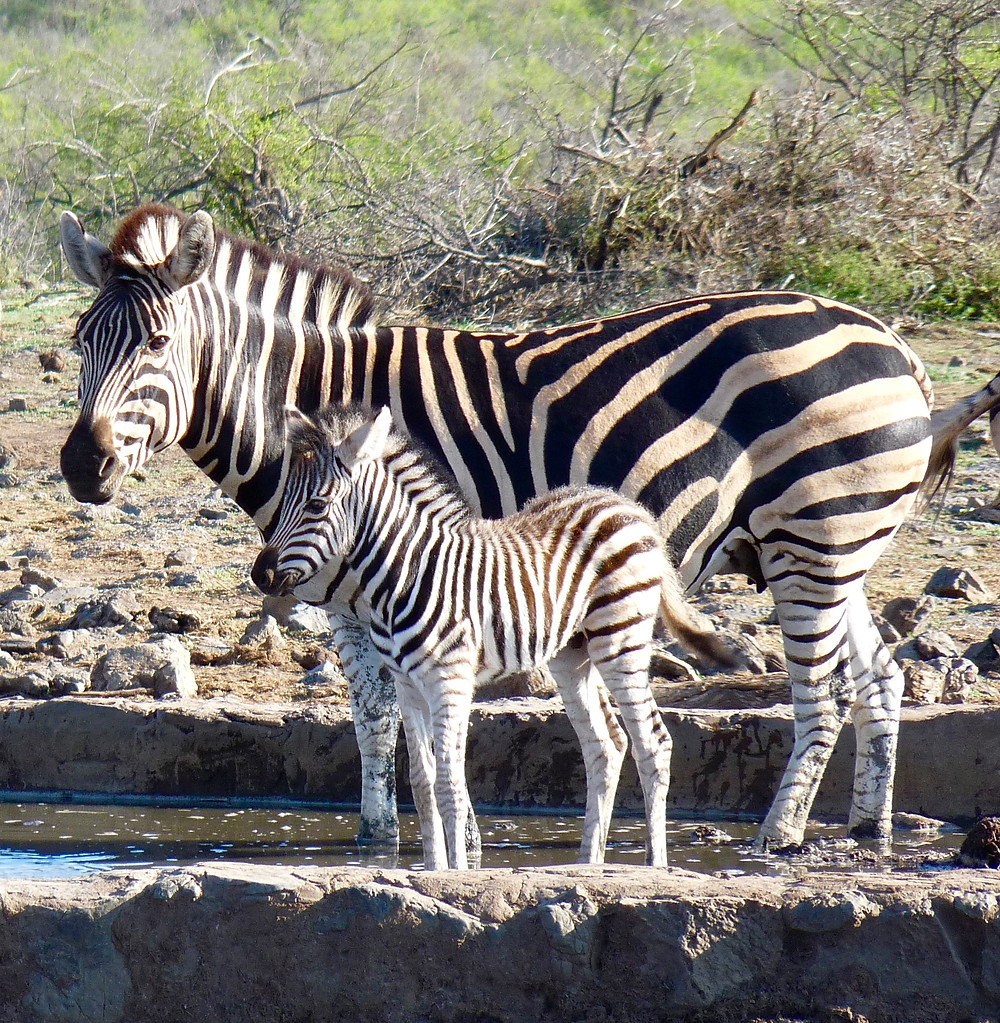 Mom & baby #zebras in #Madikwe Game Reserve