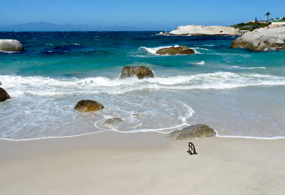 Penguin preens at Boulders Beach, South Africa