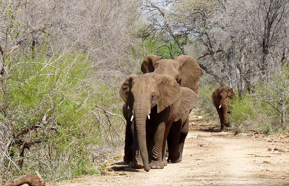 Oncoming #elephants in #Madikwe Game Reserve