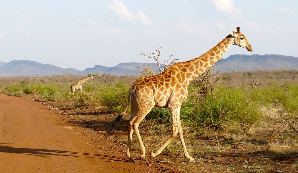 #Giraffes in #Madikwe Game Reserve