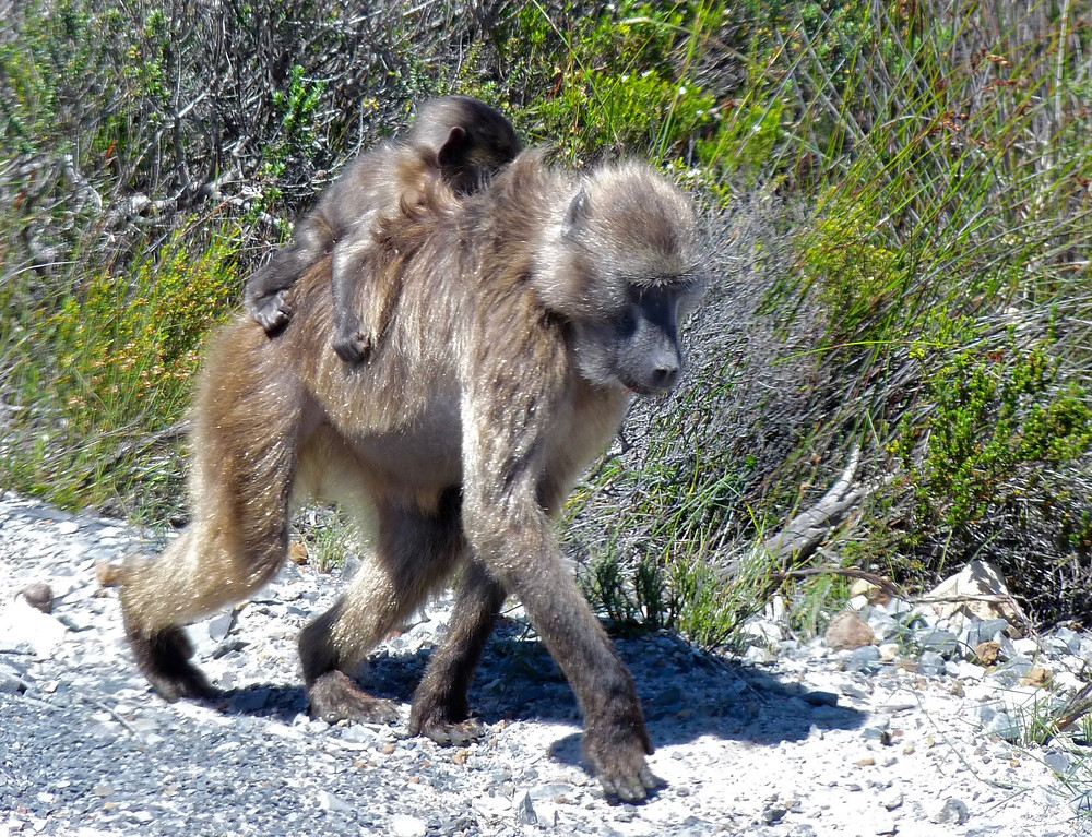 Mama and baby baboon in South Africa