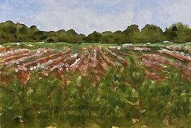 cotton field twk sm.jpg