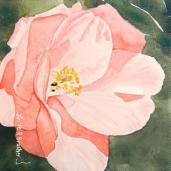 Selma camellia sm