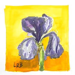 Purple iris on orange sm