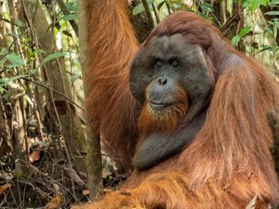 Orang Utan Di Borneo Jalani Swab Test Layaknya Manusia