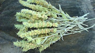 thé des garrigues Sideritis scardica