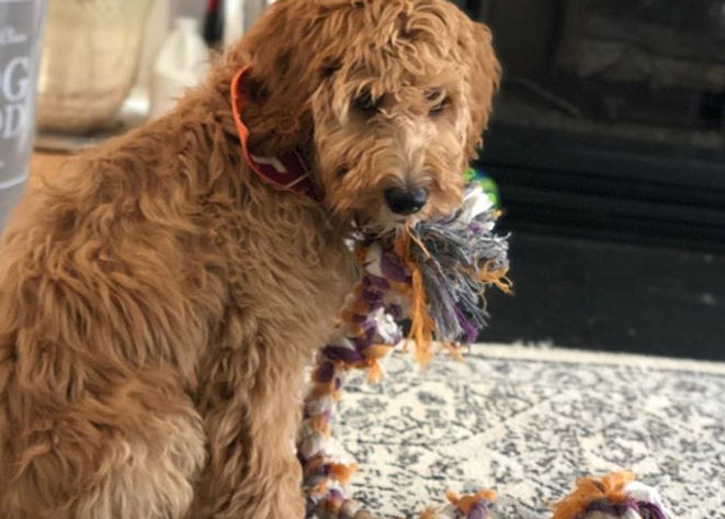 Meet Bailey, he's a Irish doodle with so