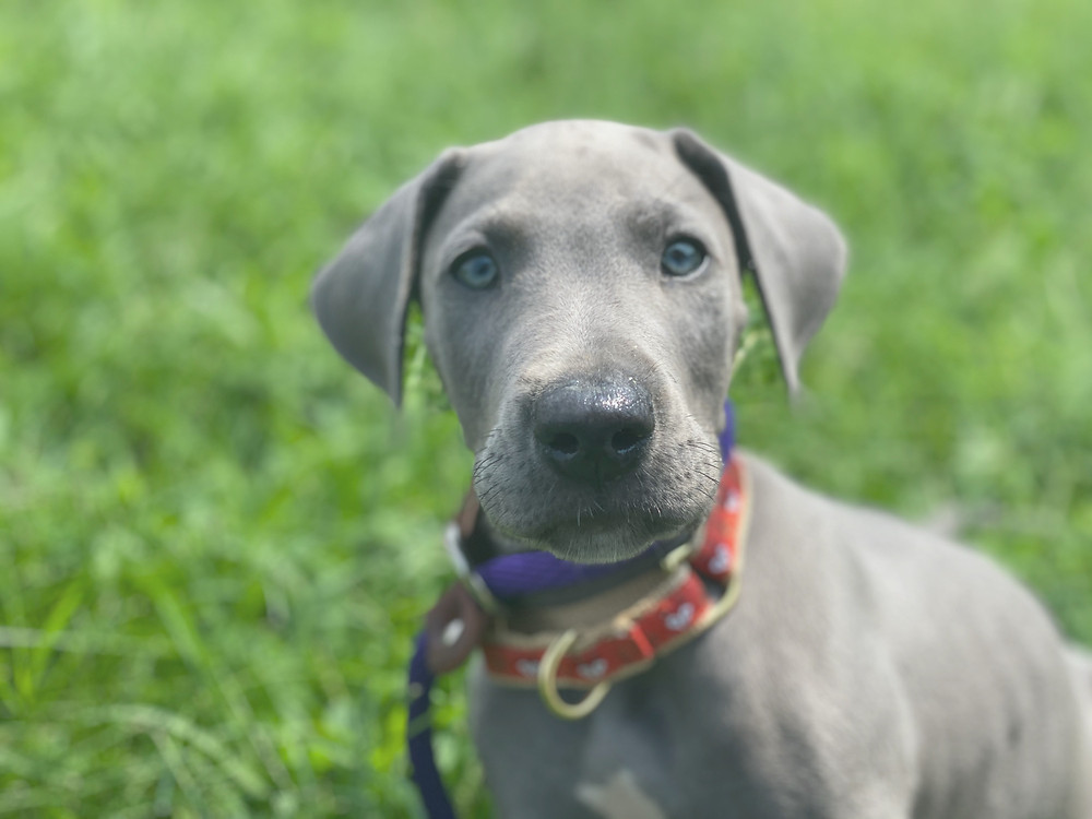 Great Dane piercing blue stare
