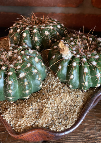 three small cactus