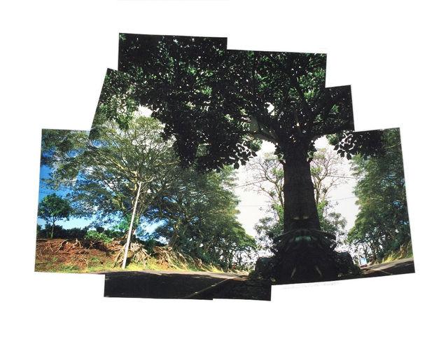 Higuerones Trees