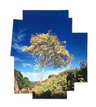 Cortez Amarilla Tree