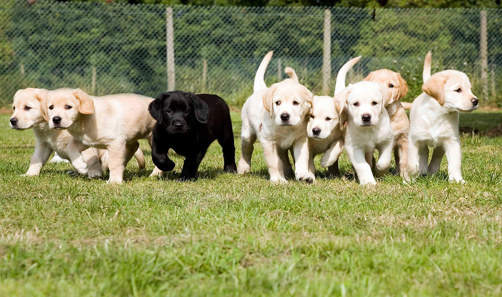 Eight guide dog puppies, seven are yellow and one is black