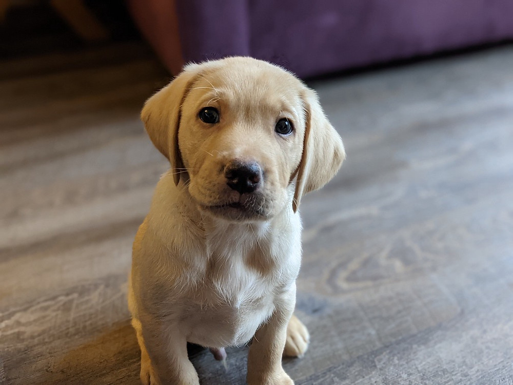 A yellow labrador puppy sat on a wood floor looking at the camera