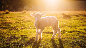 The Sacrificial Lamb