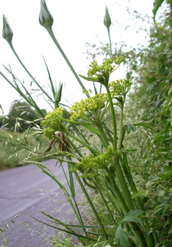 (Garden) Angelica, Angelica archangelica