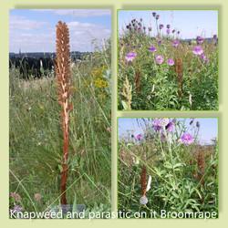 Knapweed Broomrape