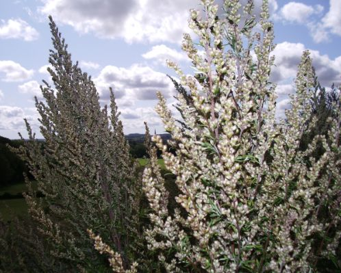 Mugwort, Artemisia vulgaris