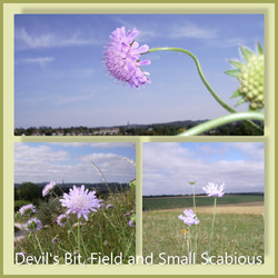 Scabious on Old Sarum