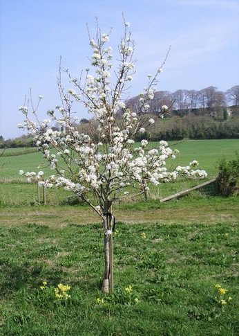 Apple Blossom and Cowslips Spring 2020 (