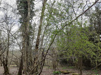 green leaves emerging 2 April 2020 (1).j