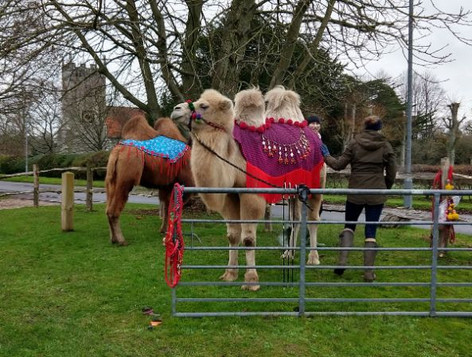 Camels in the Reading Room carpark