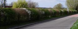Striped hedge