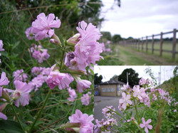 Soapworts - spot the difference