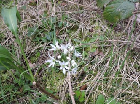 Wild garlic in flower at the Devenish 2