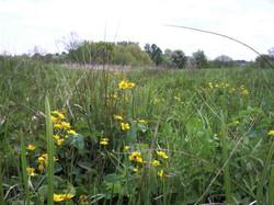 Marsh-Marigold or Kingcup