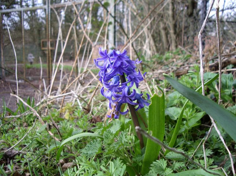 A lone, early, Spanish Bluebell