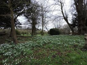 Snowdrops in the churchyard11 Feb 2019