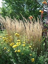 3199 is Calamagrostis 'Karl Foerster' (1