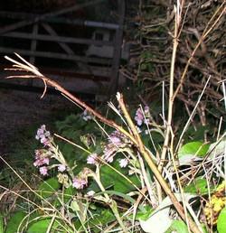 Winter Heliotrope (Petasites fragrans)