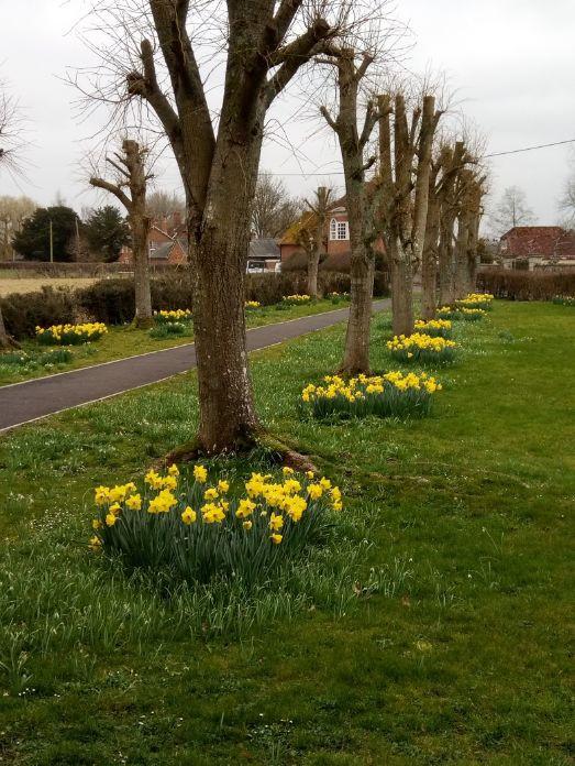 Daffodils in the churchyard