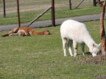 Alpaca sunbathing at Little Durnford 2 A
