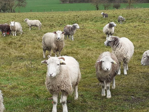 Herdwick (?) sheep by the church