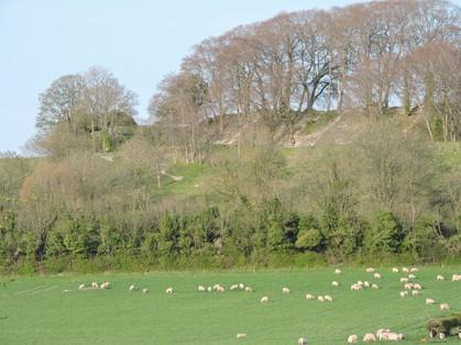 sheep 10 april 2020 rw.jpg
